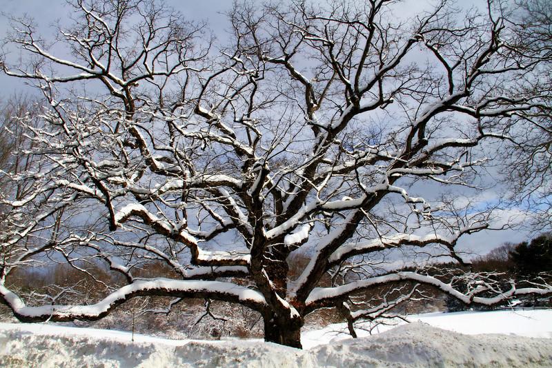 Bedford Oak in Winter