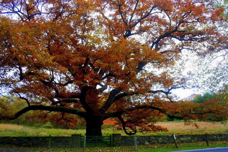 The Bedford Oak in fall