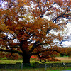 The Bedford Oak in fall