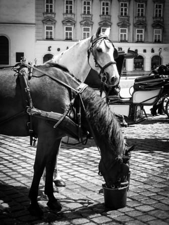 Horses of Vienna