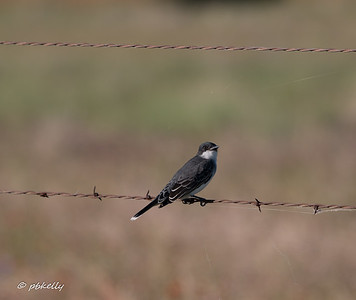 Kingbird on the fence asking me to take his picture.  Again, I love how spiders get into everything.