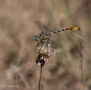 Very exciting for me!  A  Sulphur-tipped Clubtail.