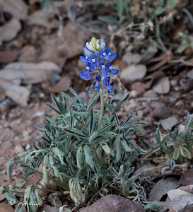 The Bluebonnets had bloomed out way before I was there, but we did manage to find this one specimen blooming in a shaded area.