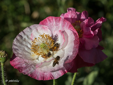 Besides lovely, these Poppies were a pollinator paradise!