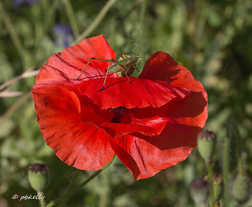 Katydid on a Poppy.