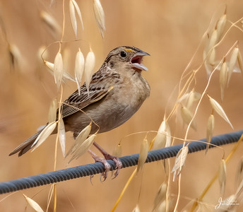 Grssshopper Sparrow