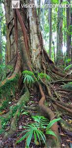IMG, 0197, 0198_Fig Tree, Mt Tamborine QLD
