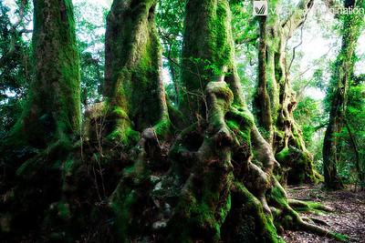 IMG_8695_Antarctic beech forest (Nothofagus moorei), Springbrooke National Park, QLD