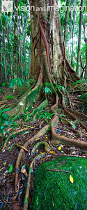 IMG, 0172, 0175_Fig Tree, Mt Tamborine QLD
