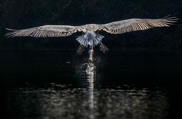 Swoop down to scoop up water...., Spot billed Pelican