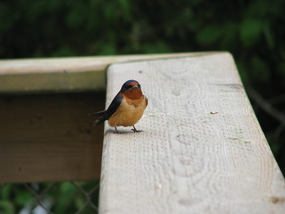 Waiting  One of the barn swallows watches its mate work on the nest before heading out for more mud.