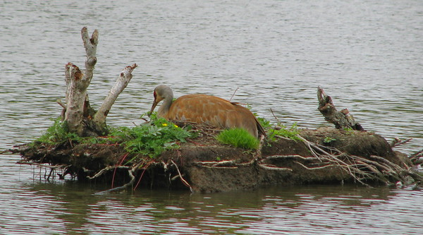 Sandhill crane - tending the nest while its mate forages.