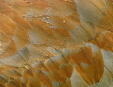 Sandhill Crane featuers