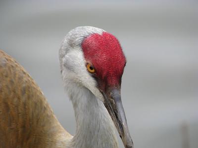Sandhill Crane 3/4 profile