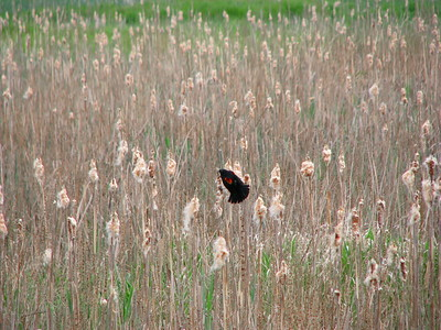 A redwing blackbird plucks insects from a bullrush.