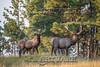 Elk Hunt-318