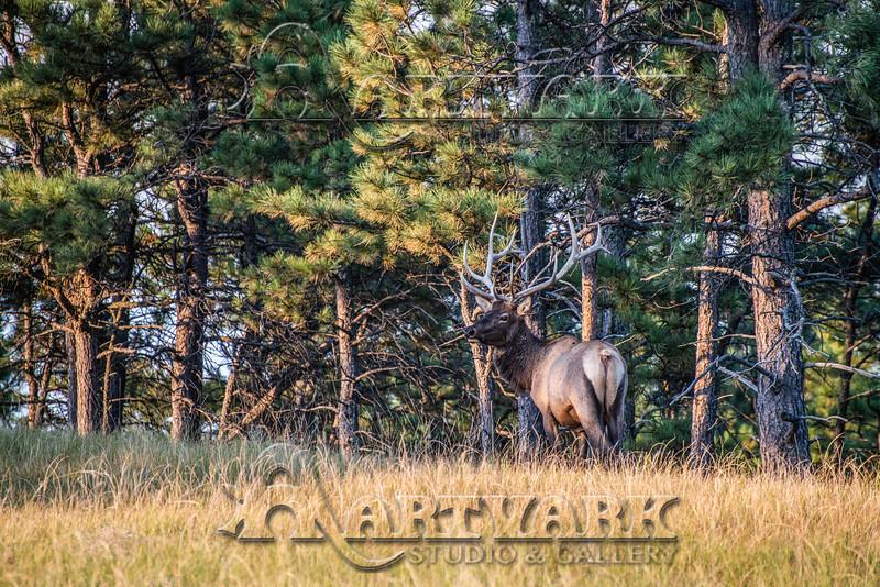 Elk Hunt-302