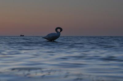 Schwan auf einem Stein / Swan on a stone