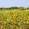 Sunflowers with their Heads Down