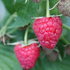 Twin Raspberries