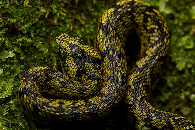 Great lakes pit viper (Atheris nitschei)