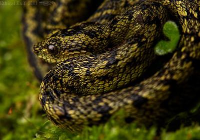 Great lakes pit viper (Atheris nitschei)