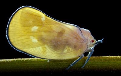 Backlit flatid hopper (Flatidae)