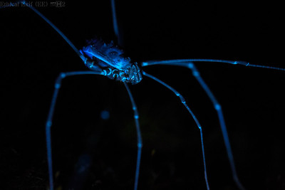 Harvestman under UV light