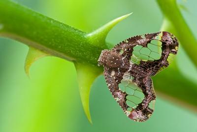 Leaf hopper (Ricaniidae)