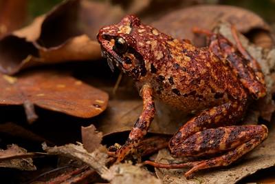 Adolf Friedrich's squeaker frog (Arthroleptis adolfifriderici)