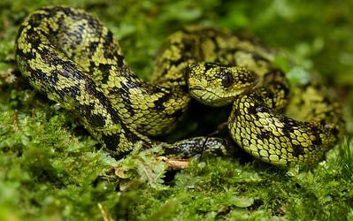 Great lakes bush viper (Atheris nitchei)