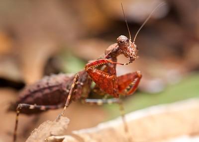 Female bush tiger mantis (Dystacta tigrifrutex)