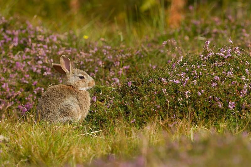 Rabbit in Unst, Shetlands