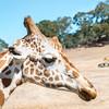 Giraffe Profile With Safari Vehicle In The Background