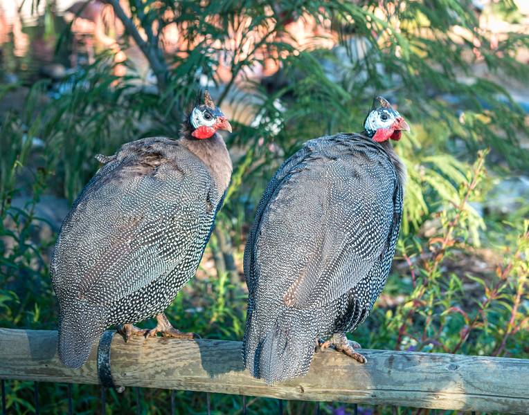 Two Guinea Hens in Early Morning Light