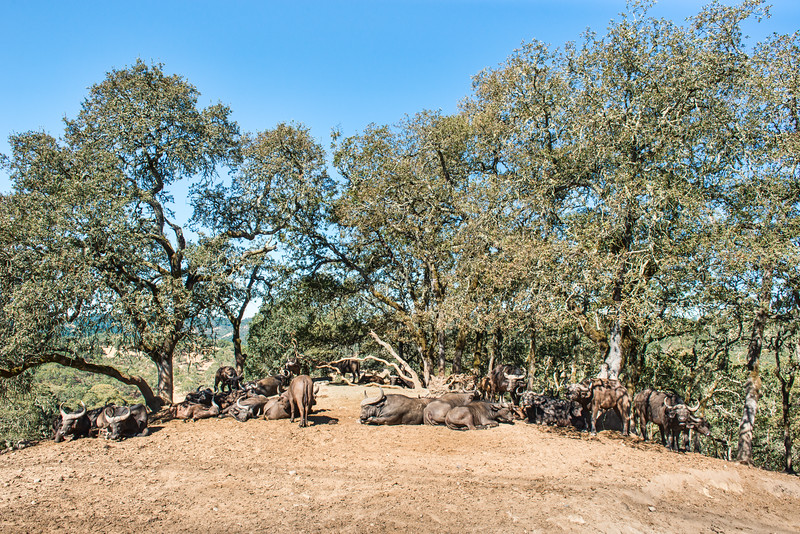 Cape Buffalo Herd On Knoll Of Hill