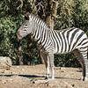 Burchell Zebra Mare