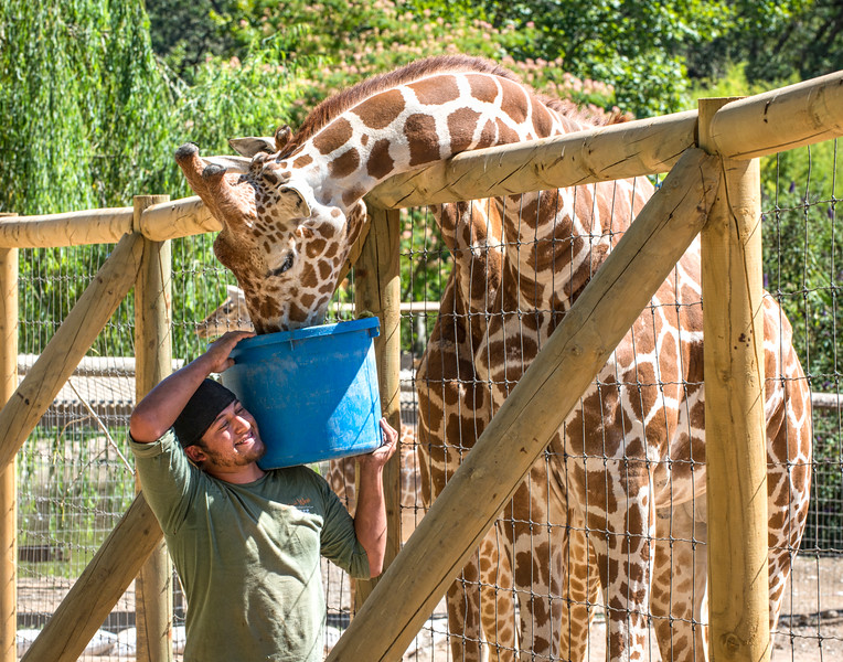 Caregiver Feeding Giraffe