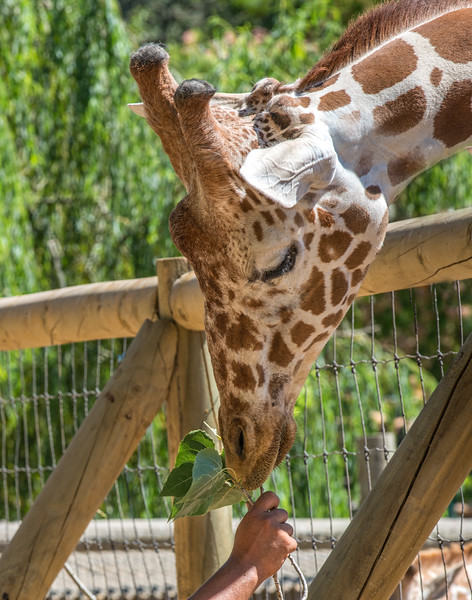 Caregiver Giving A Giraffe Some Leaves