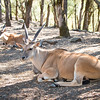 Kudu Antelope Resting In The Shade