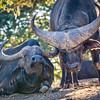 Male & Female Cape Buffalo