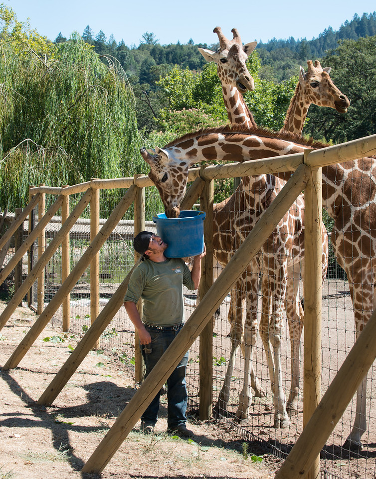 Caregiver Feeding Three Giraffes Afternoon Treat