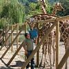 Caregiver Feeding Three Giraffes Afternoon Treat