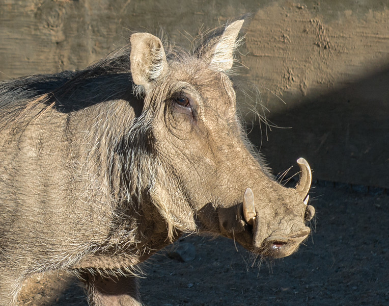 Portrait Of African Warthog