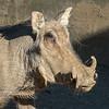 Portrait Of African Warthog