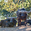 Cape Buffalo Pair