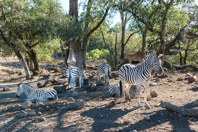Zebras staying Cool In The Shade