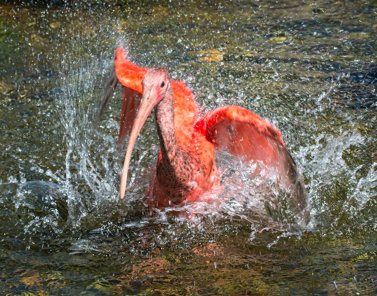 Scarlet Ibis?