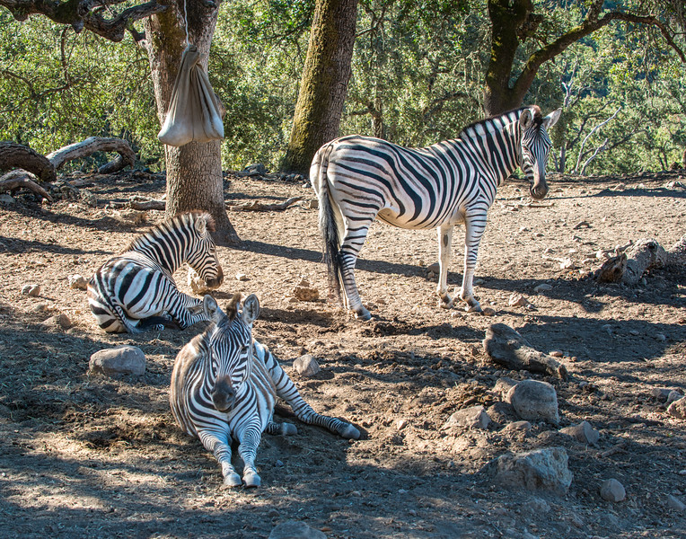 Zebras With Insect Repellent Pouch
