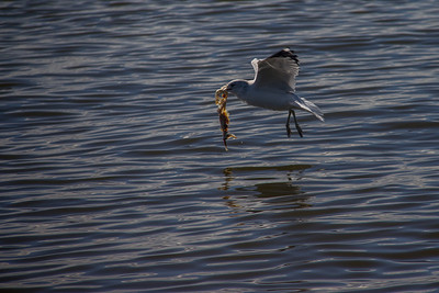 Gull Catches Dinner